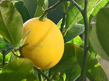 220px-Meyer_Lemon.jpg